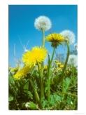 dandelion-flowers1